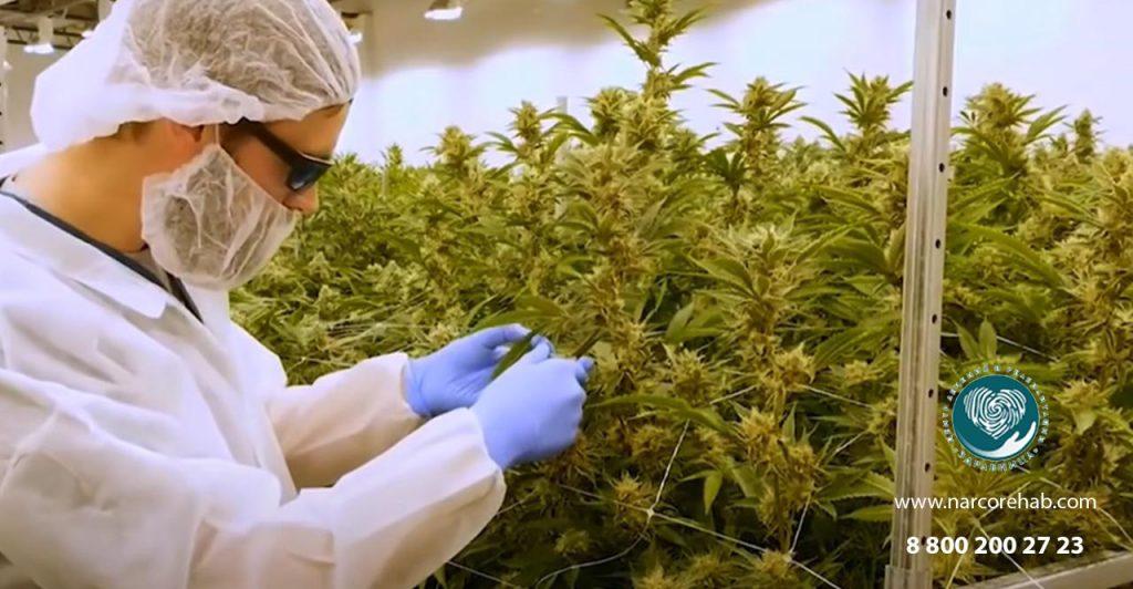 Выращивание медицинской марихуаны