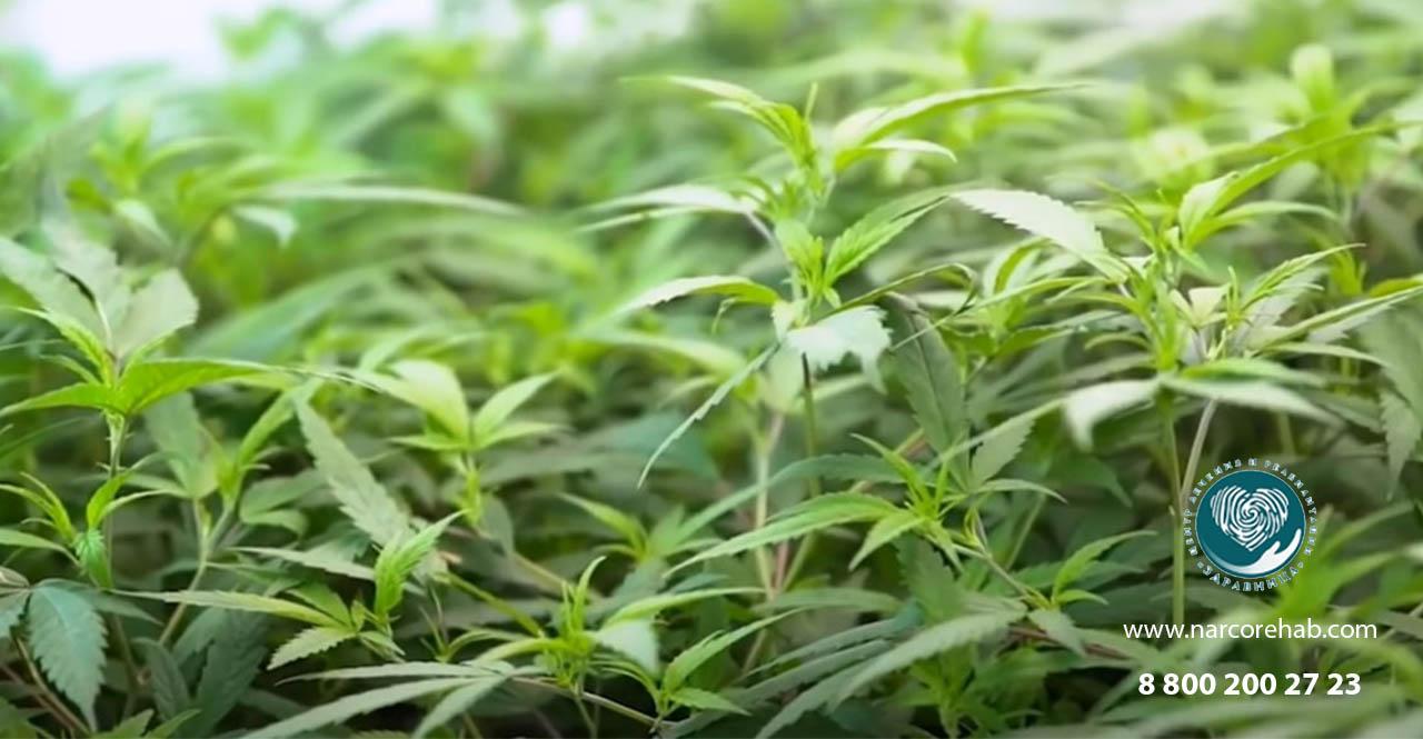 Трава марихуана