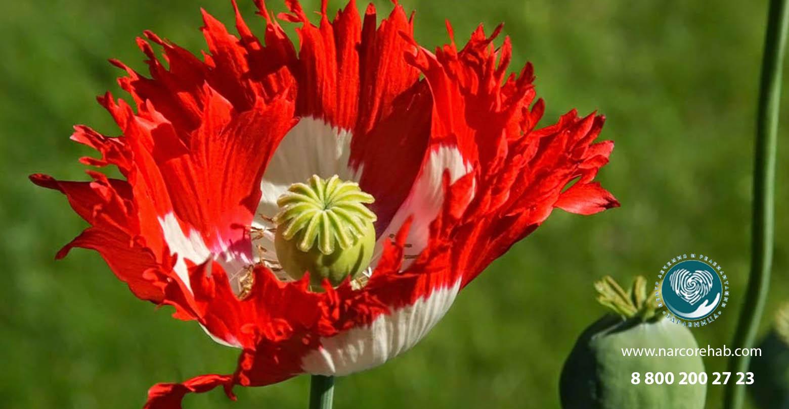 Опиум (Opium): что это, признаки употребления